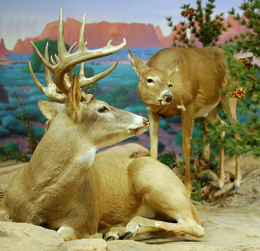 The World's Best Photos of taxidermy and whitetail - Flickr