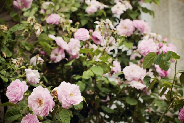 pink-rose-02