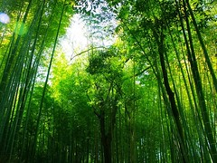 -11   Sagano, Kyoto, Japan (Hopeisland) Tags: trees plant tree green nature field japan forest spring kyoto grove bamboo april tall sagano 2010    bamboogrove