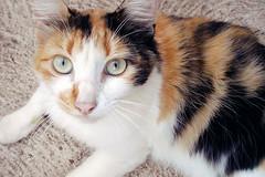 Mais Mel (Bruna_Wretzky) Tags: cat mel calico gata