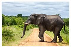 Traffic Block Ahead (David Pinzer) Tags: africa road elephant animal southafrica path wildlife krugernationalpark