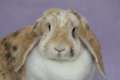 Violet (The Shabby Bunny) Tags: cute rabbit bunny bunnies girl face closeup female purple violet lilac tricolour lop buildingblocks