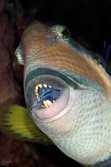 Naughty Face (Lea's UW Photography) Tags: underwater redsea fins unterwasser titantriggerfish canon100mm drückerfisch canon7d leamoser