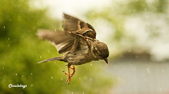 Sparrow flying in the rain ( ChOuLaBaGs) Tags: rain flying wing feather devon sparrow 1001nights choulabags bestofmywinners