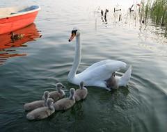 wait mom, we need a ride! (langkawi) Tags: family lake reflection boat swan ride young langkawi muteswan naturesfinest höckerschwan wandlitzsee