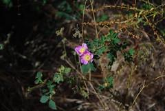 Wild Rose? Photo