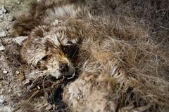 dead fox (bealluc) Tags: winter storm animal fur dead concrete death teeth canine whiskers fox saskatchewan remains farmstead deadfox threadshold