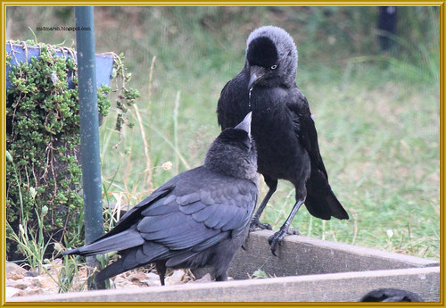Jackdaw Feeding Young 3
