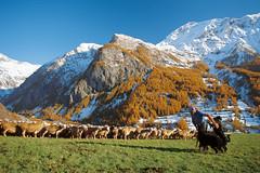 Grand air (Orcières). (Fred LAFONT-FÉRAUD) Tags: chien les alpes agriculture paysan brebis champsaur troupeau orcières agriculteur fourès