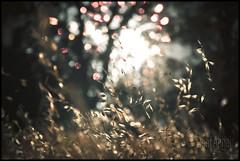 wheat fireworks -bokeh (deafangel1080) Tags: california ca city summer sky tree colors field northerncalifornia night happy lights nikon dof fireworks bokeh wheat 4th july firework shasta norcal northern redding 2010 reddingca reddingcalifornia d90 happy4thofjuly nikond90