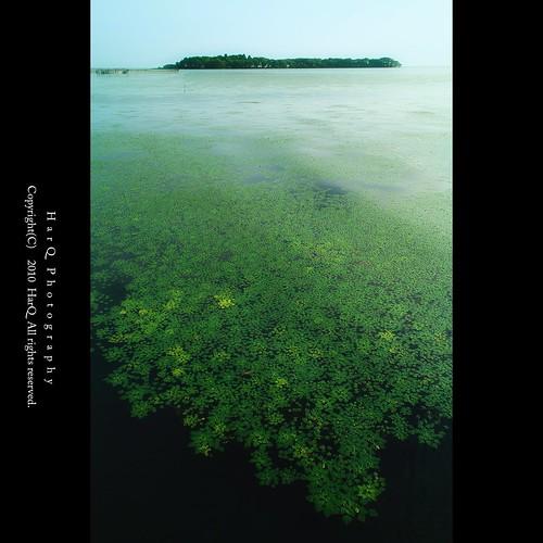 Waterweed #4