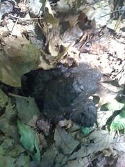 Bear Turd