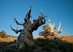 Twisted Trunks: Light and Dark (Jeffrey Sullivan) Tags: california trees usa nature pine landscape ancient photos bristlecone inyo bigpine inyonationalforest inyocounty ancientbristleconepineforest