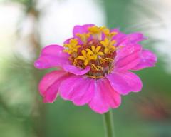 Dahlia (Bill McBride Photography) Tags: pink dahlia summer plant ny newyork flower nature yellow canon garden eos rebel li purple bokeh july longisland 2010 xsi 450d 55250 canon450d efs55250 canonxsi