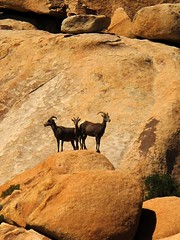 Vigilance (Terry.Tyson) Tags: california hiking soe hikes joshuatreenationalpark theunforgettablepictures rubyphotographer fantasticwildlife