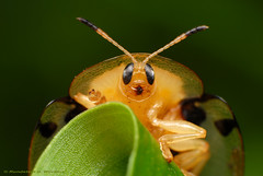 Tortoise beetle (Rundstedt B. Rovillos) Tags: macro insect reverselens denr macrophotography pawb nikond200 nikkor1855mm tortoisebeetle reverselensadapter nikonsb400 aspidomorphamiliaris diyflashdiffuser protectedareasandwildlifebureau napwc notyournormalbug ninoyaquinoparksandwildlifecenter departmentofenvironmentandnaturalresources rundstedtbrovillos kentuckyfriedchickenplasticbucketlid diykfcflashdiffuser onehandmacroshootmethod kfcdiffuser