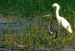 Camaraderie - EXPLORED (diegOdariO's SnapShotS) Tags: heron friendship snowy swamp egret tricolored