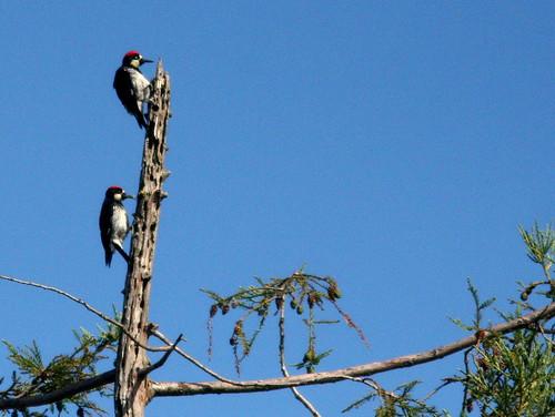 Acorn Woodpeckers 20100624
