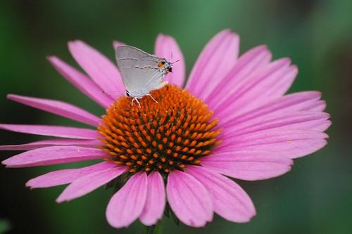 Gray Hairstreak Butterfly on Coneflower