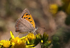 """""""Lycaena phlaeas"""" (bugman11) Tags: flowers orange flower macro nature animals fauna canon butterfly bug insect wings flora nederland thenetherlands butterflies insects bugs soe thegalaxy platinumpeaceaward 100mm28lmacro flickrstruereflection1 infinitexposure"""