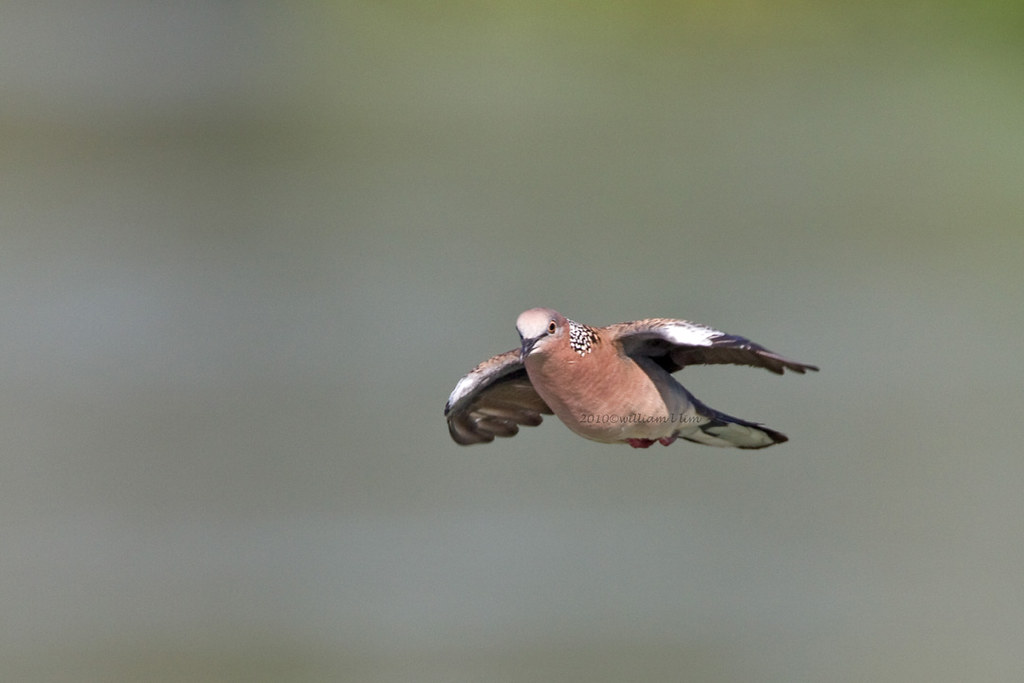 Spotted dove flying - photo#15