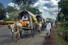 In Hubli the bullock carts travel smooth on Highway 4 (Anoop Negi) Tags: road travel family portrait india photography for photo media image photos 5 delhi indian bangalore creative nh images best indie po cart mumbai carts anoop indien pune inde negi bullocks インド hubli 印度 índia photosof הודו 인도 ezee123 độ intia الهند dharwar ấn bestphotographer هندوستان индия imagesof anoopnegi індія بھارت индија อินเดีย bullco jjournalism ינדיאַ ãndia بھارتấnđộינדיאַ indiã