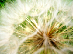 wishing flower close up (jlolindseyman) Tags: flower nature wishingflower