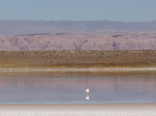 Flamingo na Laguna Cejar