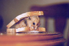 195: Hamwich (Callissa) Tags: pet cute animal wednesday table puddle furry chair sandwich hamster brea syrian 365project hamwich callissacaffull