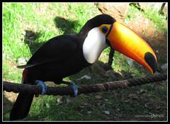 Gramado Zoo (Amanda Ghirelli) Tags: bird canon zoo toucan ave zoolgico riograndedosul tucano gramado