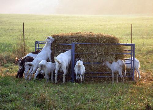 cashmere goat association