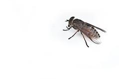 broms insekt