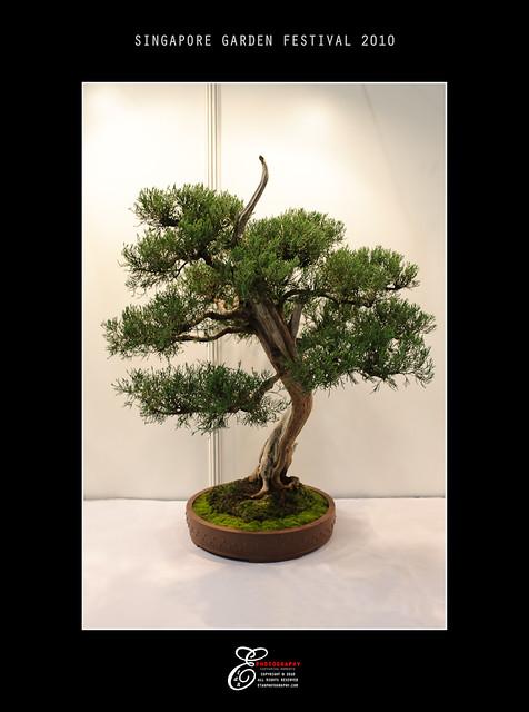 Bonsai - 001