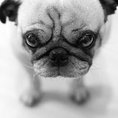 [Free Image] Animals, Mammalia, Canidae, Dog, Puppy, Pug, Black and White, 201009111700