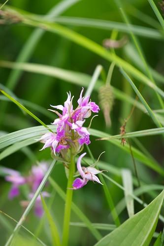 ハクサンチドリの白花との中間型