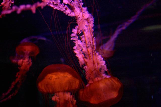 vegas jellyfish