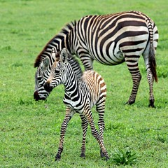 baby zebra and his mother (Z Eduardo...) Tags: africa nature animal tanzania wildlife mother son unesco worldheritagesite safari ngorongoro crater zebra artistoftheyearlevel3 artistoftheyearlevel4 artistoftheyearlevel5