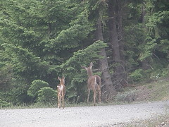 Deer on road on way to Tubal Cain trailhead.