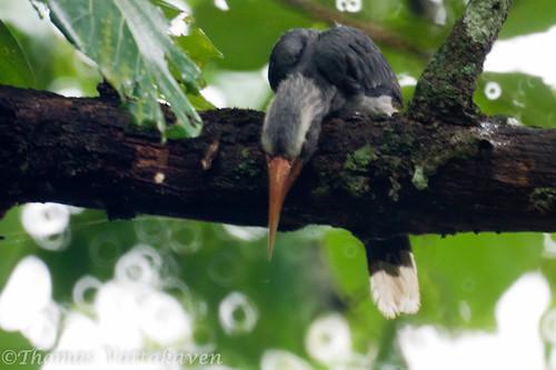 Malabar Grey Hornbill (Ocyceros griseus)