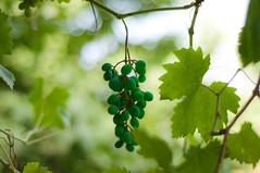 Alien (hannaneh710) Tags: tree green leaf bush nikon ایران emerald grape درخت سبز بهشت d90 انگور میوه شاخه برگ زمرد iranmap iranmapcom