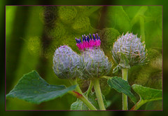 Beautiful Nature (scorpion 13 I'm in vacation ;o))) Tags: pink plant green texture nature field garden walk frame buds burdock klette