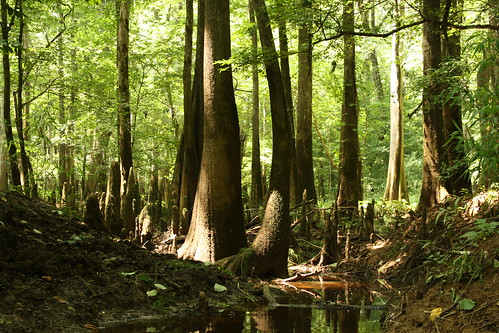 Bald Cypress knees abound on Cedar Creek