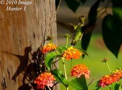 Me & My Shadow (Image Hunter 1) Tags: flowers shadow nature leaves birds flying wings louisiana hummingbird flight bayou swamp marsh lantana wingspan wingspread birdslouisiana bayoucourtableau panasonicfz35