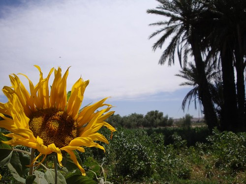 Photo of sun flower and palm trees in river bank of Tassoumaat in Ouarzazate