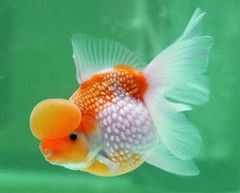Pearlscale Goldfish by goldenfish2010, on Flickr