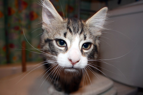 Intrepid, a tabby and white kitten with long hair and a white nose, stares into the camera in a very serious fashion from very close range.  He has a remarkable amount of whiskers which are luxuriously long, and also ear tufts.