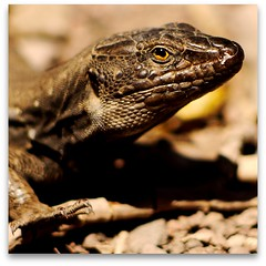 Cheeky lizard! (MrLeica.com (MatthewOsbornePhotography)) Tags: tubes lizard tenerife g1 extension jpeg zuiko 200mm omadapter mattoz22