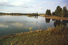 Heron taking off Furzton Lake (OG47) Tags: lake heron evening miranda minoltax300 furztonlake 24mmf28primelens