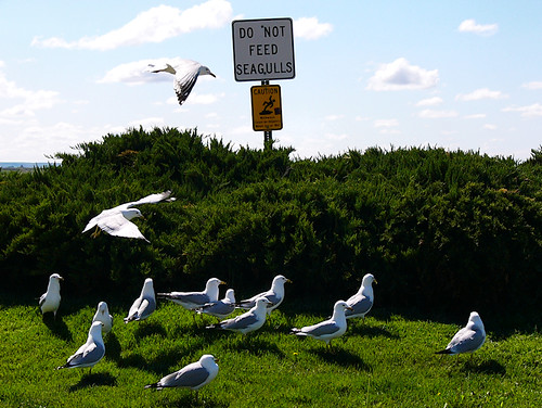 Seagulls from around the US - Somewhere in Washington
