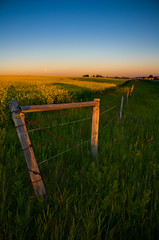 Peaking up Canola (JoLoLog) Tags: sunset canada calgary yellow alberta hdr canola lorien canolafield canonxsi